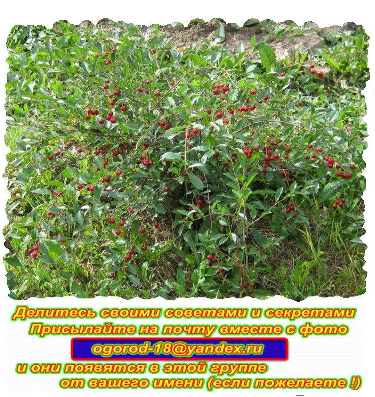 Как эффективно удалить корневую поросль у вишни и сливы