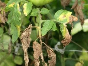 Белые пятна на листьях томатов в теплице