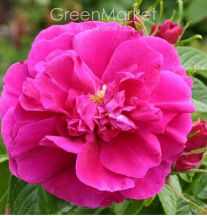 Роза ругоза морщинистая, красивый декоративный кустарник