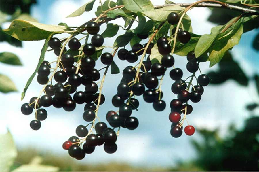 Гибрид вишни