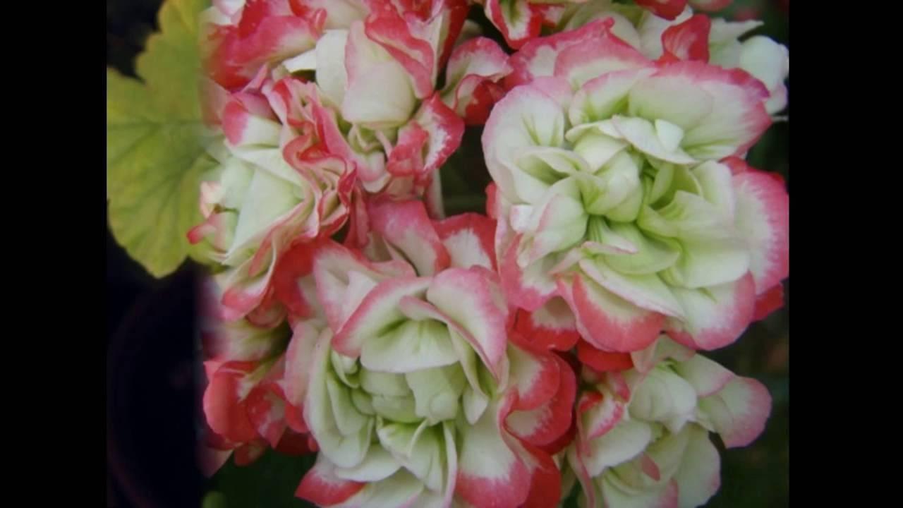 Пеларгония apple blossom rosebud