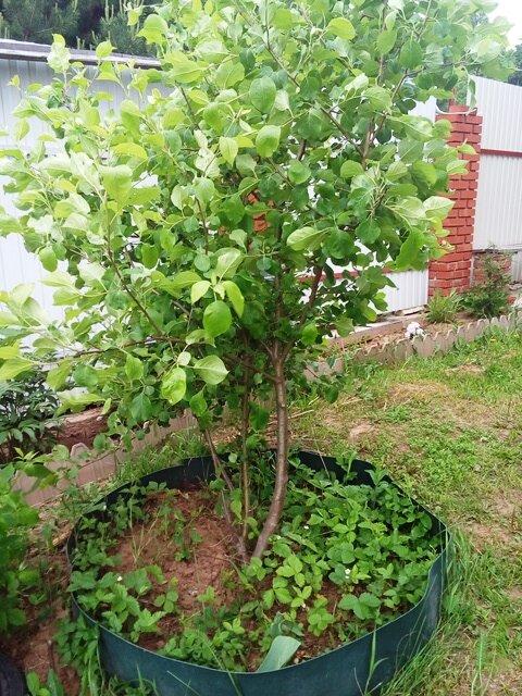 Все о приствольных кругах плодовых деревьев: оформление, размер, мульчирование