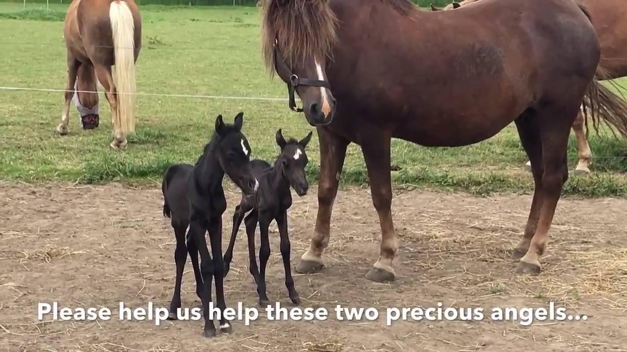 Роды у лошади (выжеребка): подготовка, помощь, рекомендации |  ветеринарная служба владимирской области