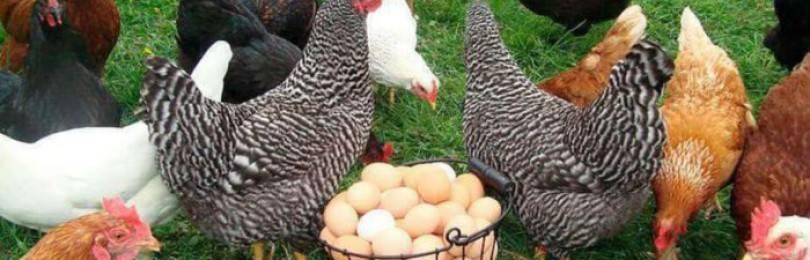 Почему куры несут яйца разного цвета?