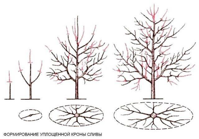 Обрезка сливы осенью: схема для новичков, советы