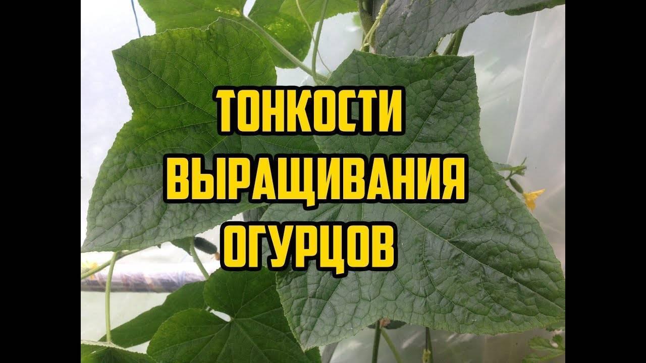 Огурец уран f1: описание, характеристики, достоинства, посадка и уход, выращивание рассады, отзывы
