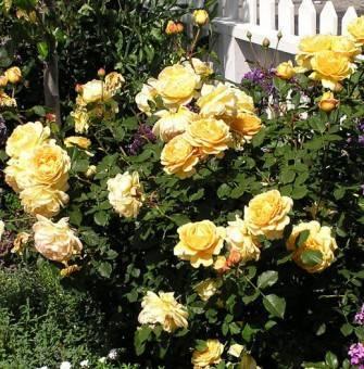 Роза golden celebration