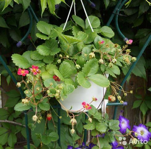 Описание ампельной клубники: характеристики и правила выращивание
