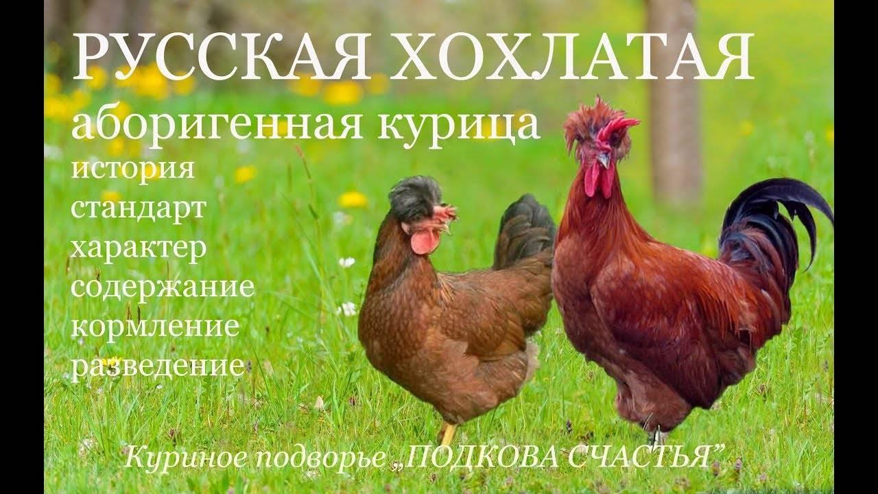 Порода кур русская хохлатая: описание, фото, продуктивность, содержание и уход, отзывы
