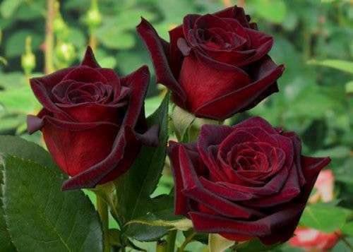 Сорта чайно-гибридной розы