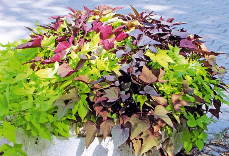 Все о посадке ипомеи Батат многолетней: когда и как сеять, уход и выращивание