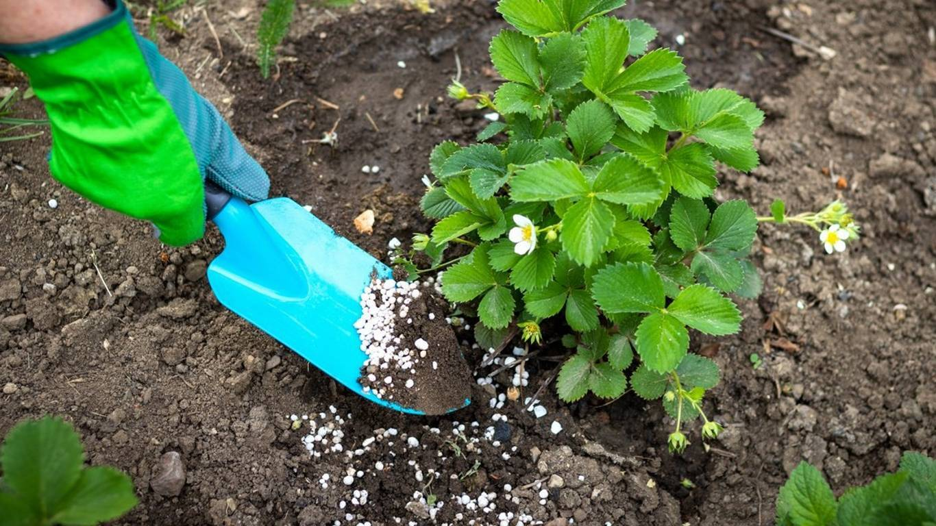 Чем подкормить клубнику весной, чтобы получить хороший урожай