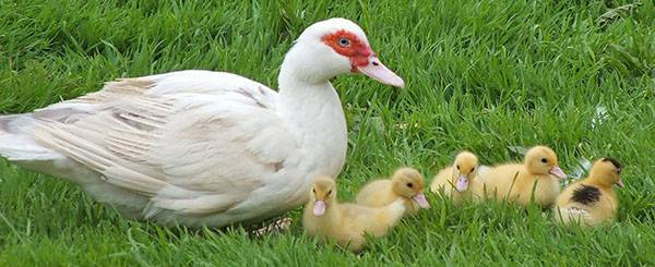 Инкубация утиных яиц