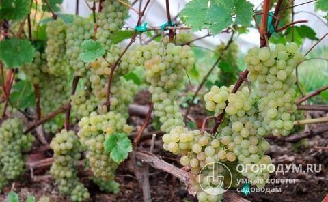 Виноград «кристалл» — идеален для игристого вина