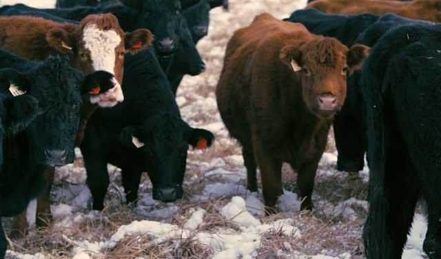 Абсцесс у коровы история болезни