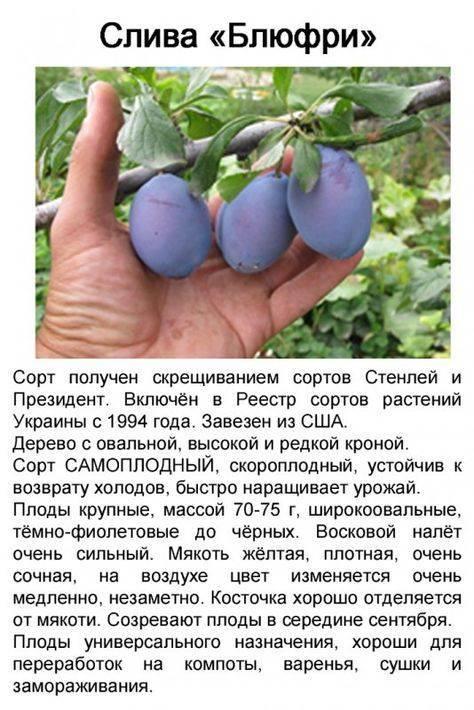 Слива евразия: как выращивать ранний и зимостойкий сорт