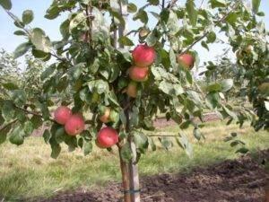 Как ускорить плодоношение яблонь и груши — способы