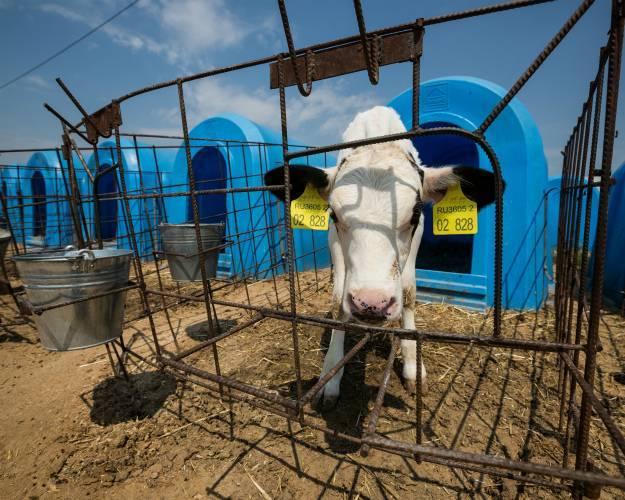Особенности быстрого откорма бычков на мясо