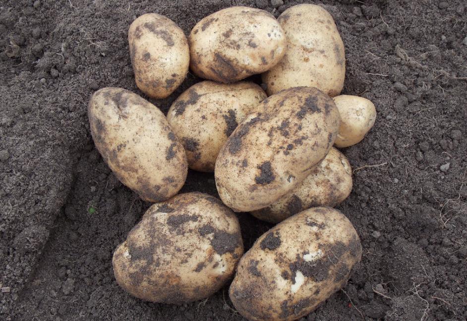 Лучшие белорусские сорта картофеля и их описание