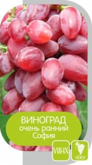Сорт винограда София, характеристики, описание культуры, уход и разведение