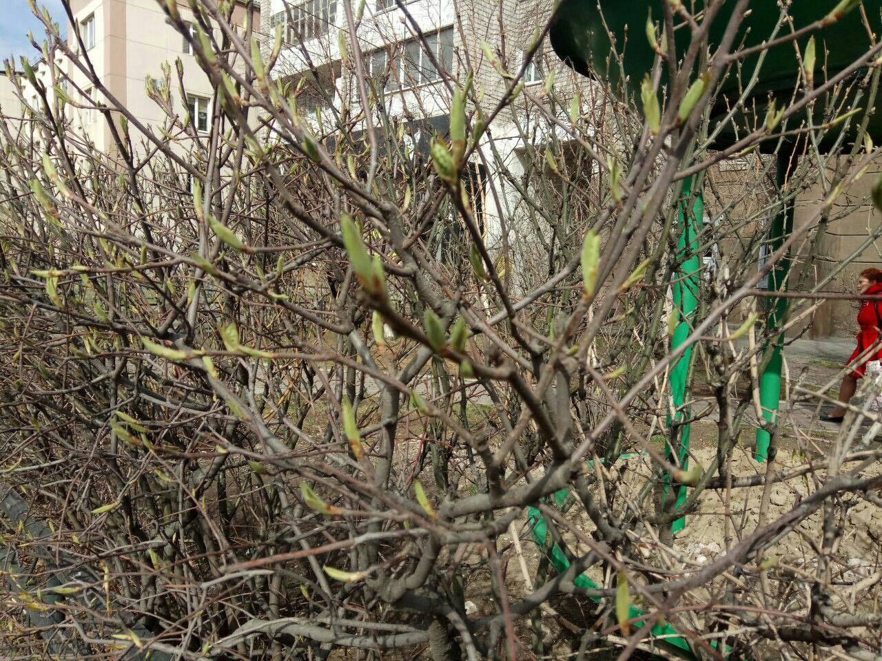 Почему сохнут листья у вишни