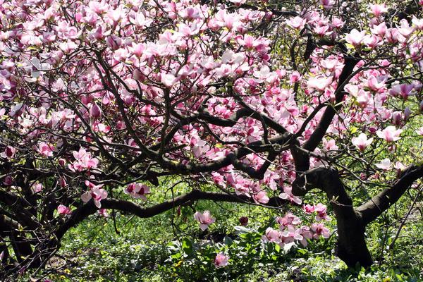 Дерево магнолия: описание, посадка, особенности выращивания и ухода