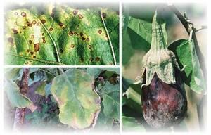 Как выращивать баклажаны без болезней и вредителей
