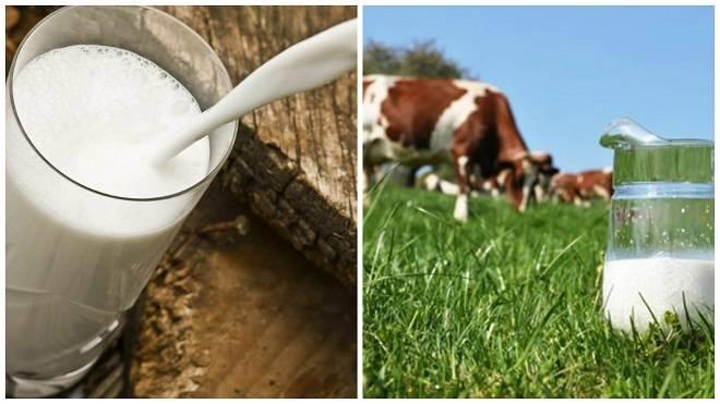 Что делать, если корова лягается (бьется) при доении?