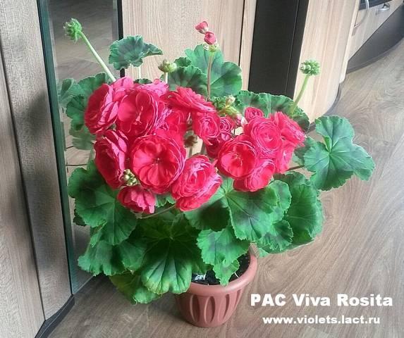 О сорте пеларгонии pac viva carolina (пак вива каролина) — особенности выращивания