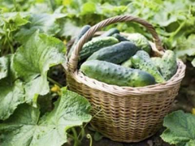 Чем обрабатывать клубнику весной от вредителей?