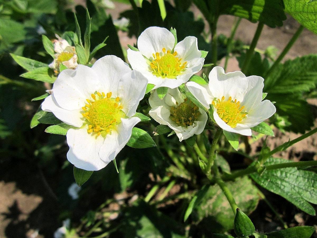 Чем обработать клубнику во время цветения для подкормки и от вредителей