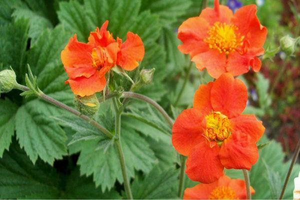 Виды цветка гравилат, посадка и уход, выращивание из семян