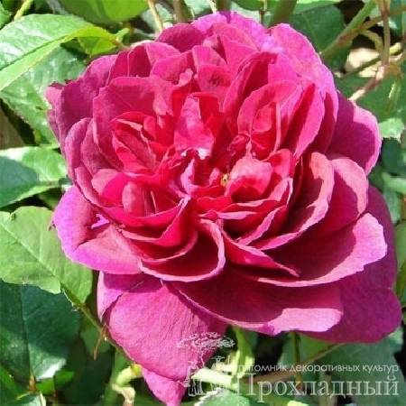 Роза darcey bussell