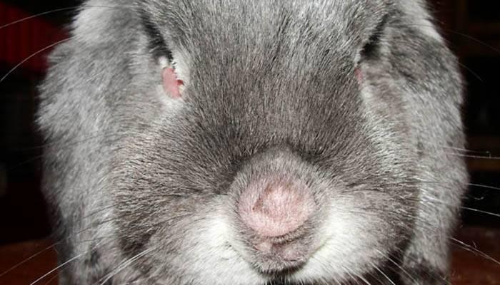 Миксоматоз у кроликов лечение в домашних условиях