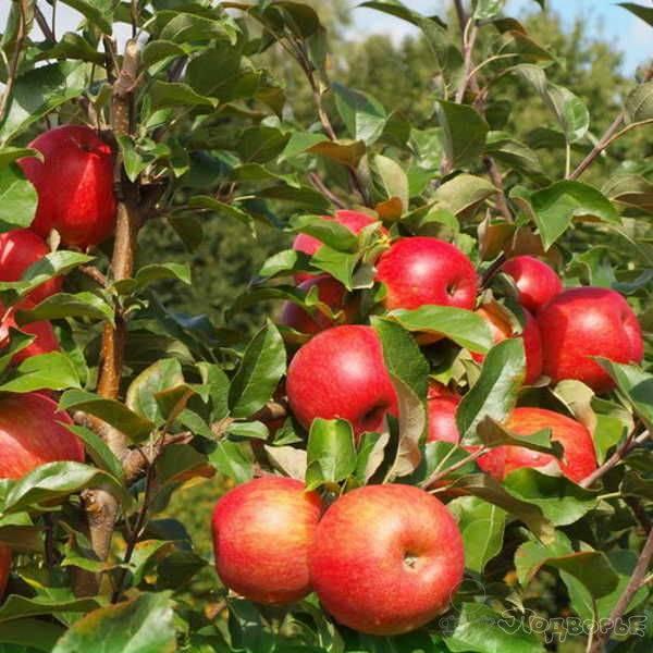 О яблоне хани крисп (медовый хруст), описание сорта, характеристики