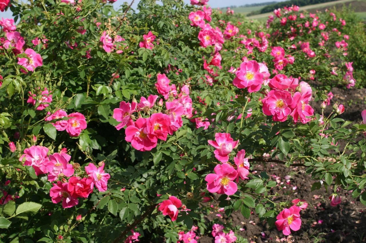 Rosa 'pink robusta' википедия