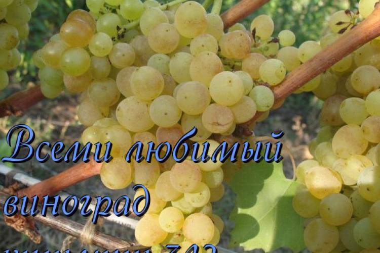 Сорт винограда кишмиш 342