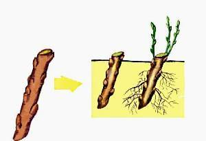 Размножение крыжовника зелёными черенками летом