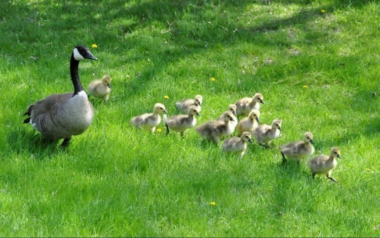 Чем кормить гусят? кормление птиц с первых дней жизни в домашних условиях, комбикорм для маленьких суточных и недельных гусят. можно ли новорожденным давать молоко?