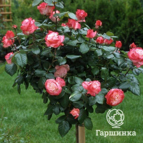 Двухцветная красавица — роза ностальжи: описание сорта, выращивание и использование в ландшафтном дизайне