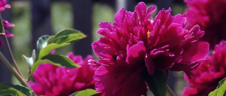 Почему не могут цвести пионы: что делать, если у пиона одни листья без бутонов цветков
