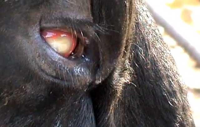 Если болят глаза у коровы