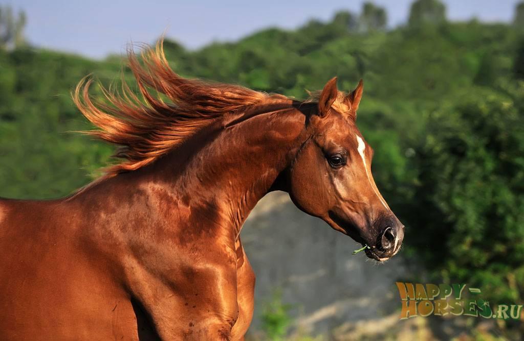 Арабская лошадь: каковы особенности породы