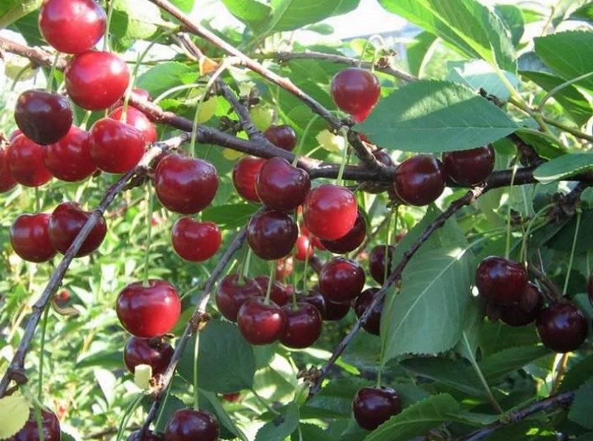 Грибок на вишне— распознаем и лечимгрибковые заболевания