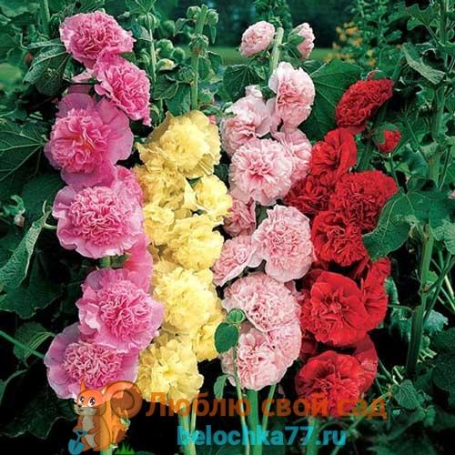 Шток роза - выращивание из семян, когда сажать на рассаду, посадка и выращивание