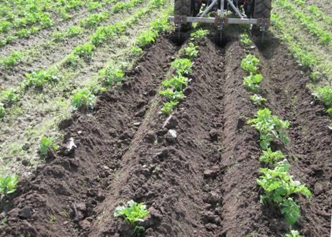 Посадка картофеля картофелесажалкой для мотоблока