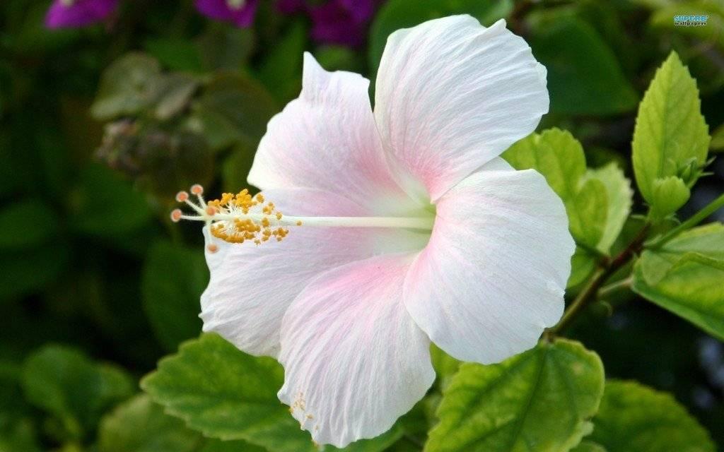 Гибискус плохо растет что делать. почему у вас не цветет комнатный гибискус? выращивание и уход за травянистым гибискусом
