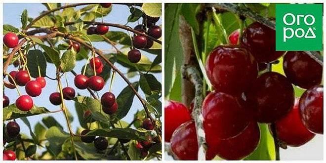 Лучшие самоплодные сорта вишни