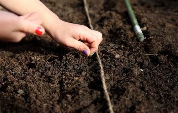 Посадка свеклы - нюансы выращивания в открытом грунте