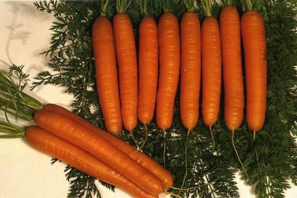 Морковь чемпион: описание и характеристика сорта, основные особенности, преимущества, недостатки, правила выращивания, урожайность, похожие виды